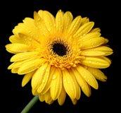 красивейший желтый цвет gerbera Стоковое Изображение RF