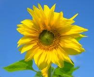 красивейший зеленый цвет выходит солнцецвет Стоковые Изображения