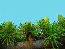 красивейший зеленый цвет конусов Стоковое фото RF