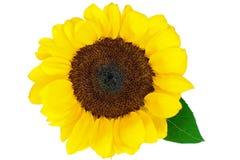 красивейший изолированный солнцецвет стоковое изображение