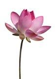 Красивейший изолированный цветок лотоса. Стоковые Фотографии RF