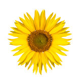 Изолированный солнцецвет Стоковые Фото
