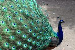 Красивейший индийский павлин стоковое фото