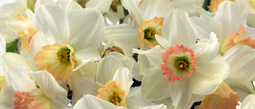 Daffodils Стоковое Изображение RF