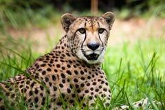 красивейший конец гепарда вверх Стоковое Фото