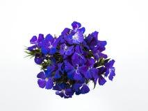 красивейший конец сини цветет вверх стоковые изображения