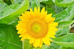 Красивейший конец цветка Sun вверх. Стоковое Изображение RF