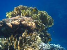 Красивейший коралл Стоковые Изображения