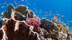 красивейший коралл сток-видео