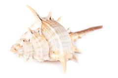 красивейший коричневый seashell Стоковое фото RF