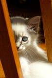 красивейший котенок сиамский Стоковые Изображения