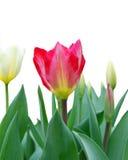 красивейший красный тюльпан Стоковая Фотография