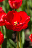красивейший красный тюльпан Стоковые Фотографии RF