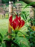 Красивейший красный цветок Стоковое Изображение