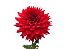 красивейший красный цвет георгина Стоковые Фото