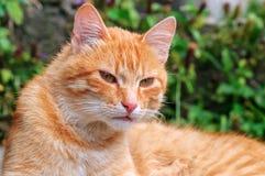 красивейший красный цвет кота стоковые изображения
