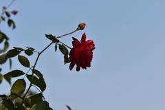 красивейший красный цвет листьев поднял Стоковые Фотографии RF