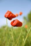 красивейший красный цвет мака цветков Стоковые Изображения
