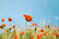 красивейший красный цвет мака цветков Стоковые Фото