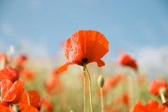 красивейший красный цвет мака цветков Стоковое Фото