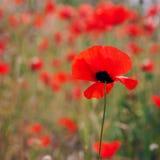 красивейший красный цвет мака цветков Стоковая Фотография
