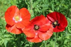 красивейший красный цвет мака цветков Стоковое Изображение