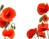 красивейший красный цвет мака Стоковые Изображения