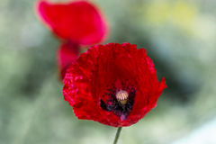 красивейший красный цвет мака Стоковые Изображения RF