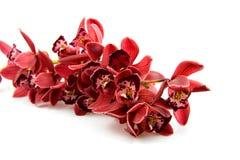 красивейший красный цвет орхидеи стоковая фотография