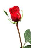красивейший красный цвет поднял Стоковое Изображение