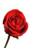 красивейший красный цвет поднял Стоковая Фотография