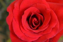 красивейший красный цвет поднял Стоковые Фотографии RF