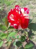 красивейший красный цвет поднял стоковая фотография rf