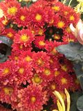 красивейший красный цвет хризантемы Стоковое Изображение