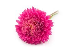 красивейший красный цвет цветка стоковое изображение rf