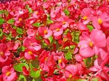 красивейший красный цвет цветка Стоковая Фотография RF