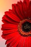 красивейший красный цвет части макроса gerber цветка Стоковое Изображение