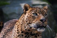 красивейший леопард Стоковое Изображение