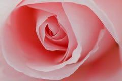 красивейший макрос цветка поднял Стоковое Изображение RF