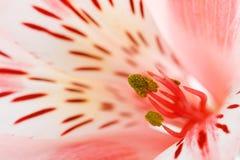 красивейший макрос цветка Стоковая Фотография RF