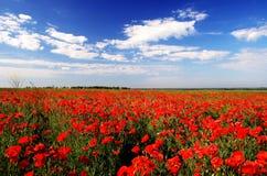 красивейший мак поля Стоковое Изображение
