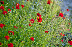 красивейший мак цветков Стоковые Изображения RF