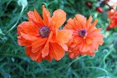 красивейший мак цветков Стоковые Фотографии RF