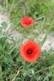 красивейший мак цветков Стоковая Фотография