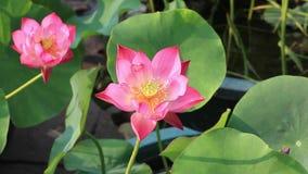 красивейший лотос цветка видеоматериал