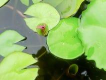 красивейший лотос цветка Стоковые Изображения RF