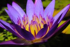 красивейший лотос цветка Стоковое Фото