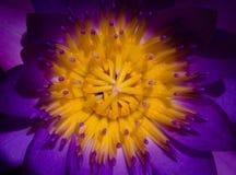 красивейший лотос цветка Стоковая Фотография RF