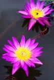 красивейший лотос Стоковое фото RF