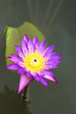 красивейший лотос Стоковая Фотография RF